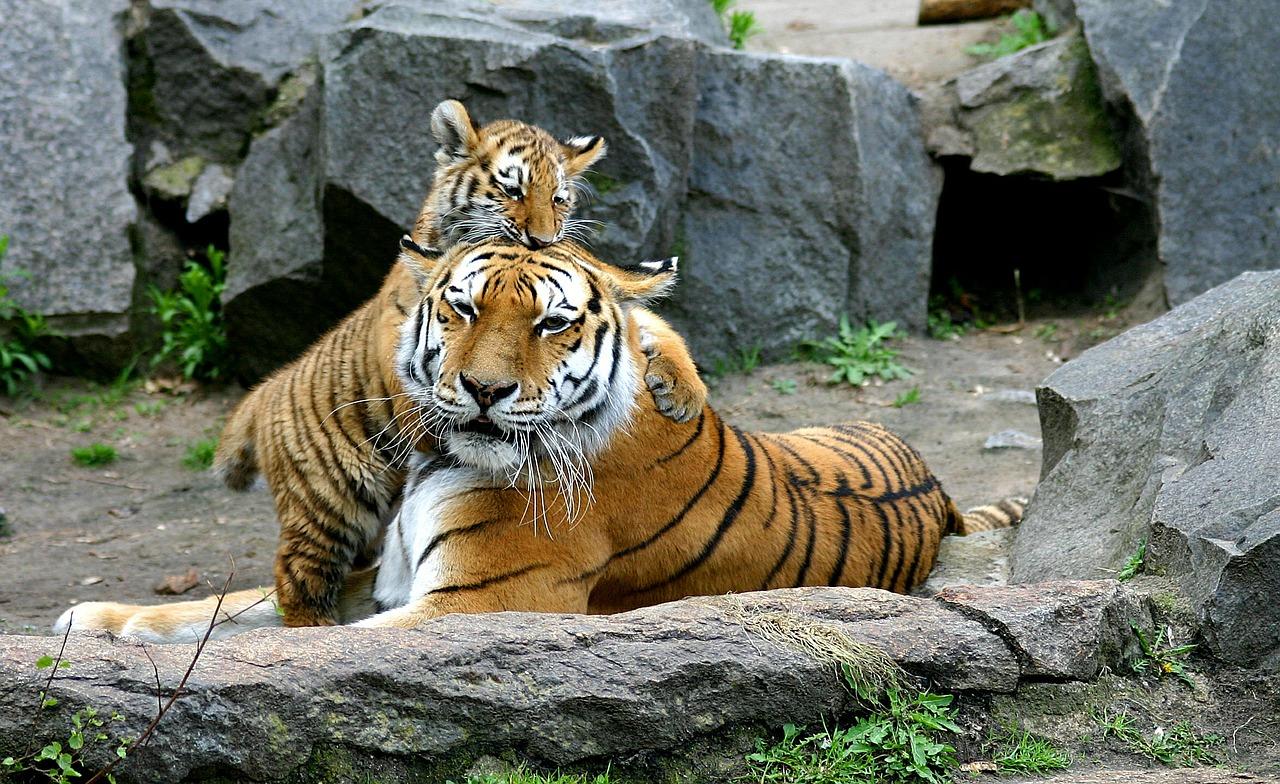 tiger-552939_1280